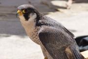 Research gives a bird's eye view on falcon behaviour