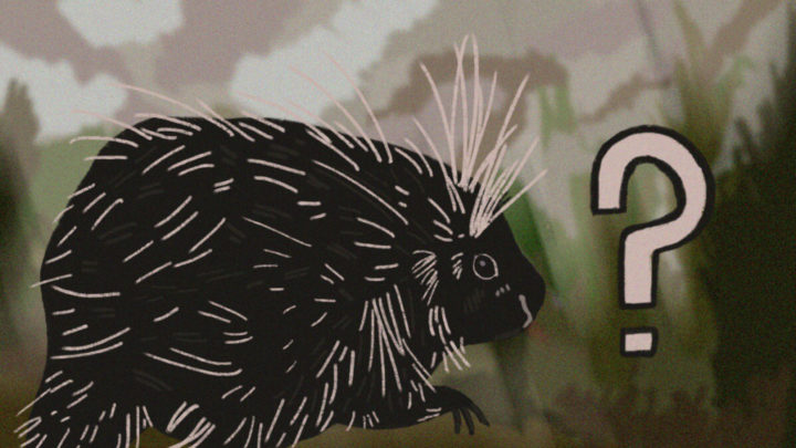Photo of Ask a prof: Is it weird to see a porcupine on campus?