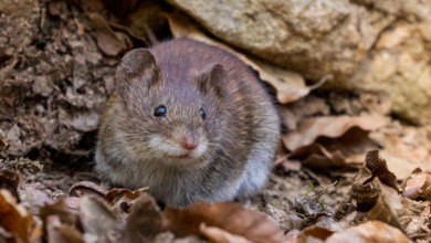 Photo of Crisis averted: deer mice and red-back vole will adapt just fine to climate catastrophe