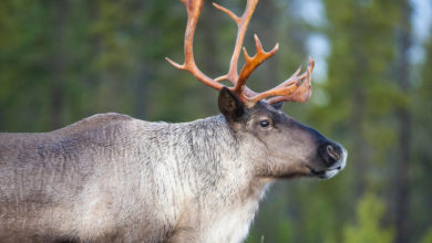 Photo of Jasper Park caribou extirpation highlights problem with settler land management